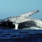 Observação de baleias - Açores